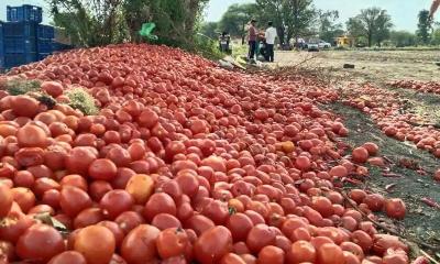 Nasik_farmers_dump_tomatoes_400